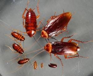 κατσαρίδα απεντομώσεις απολυμάνσεις αγρίνιο